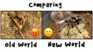 OLD WORLD vs NEW WORLD tarantulas !!! Q&A