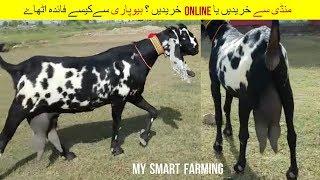 31 | Goat farming in Pakistan | منڈی سے خریداری کریں یا آن لائن ؟ | Episode 13