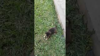 German Shepherd puppies funny