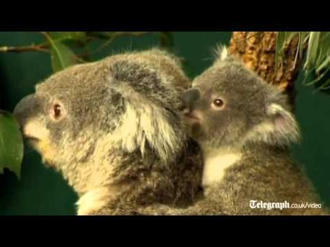Sydney zoo shows off baby koala