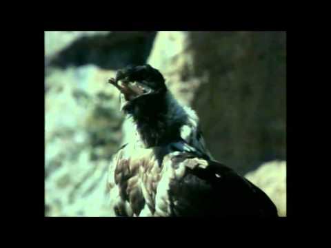 Γυπαετός: Ο ερημίτης των βουνών