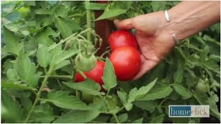 How to Grow Tomatoes: 3 Support Options