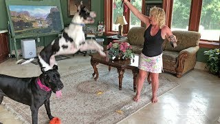 Great Danes Jump for Joy About New Collars