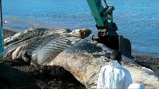 Saint-Florent : la carcasse de la baleine échouée évacuée [attention les images peuvent choquer]