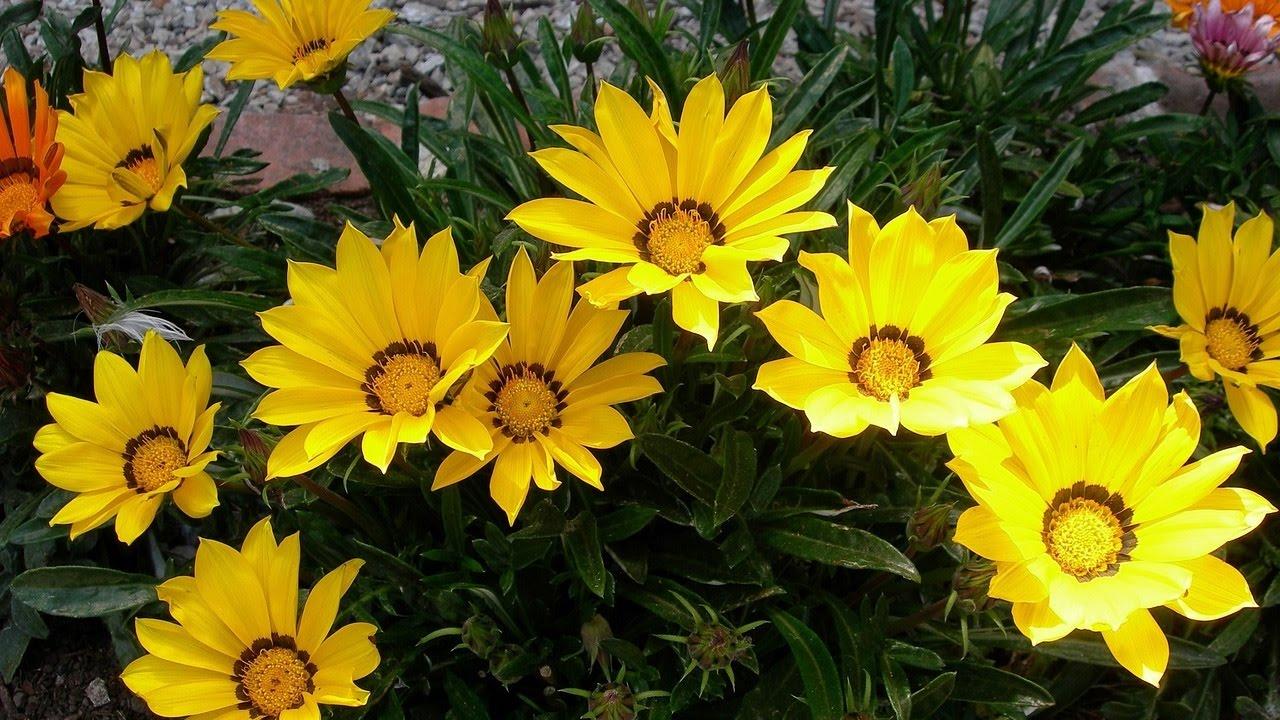 Цветы газания в саду