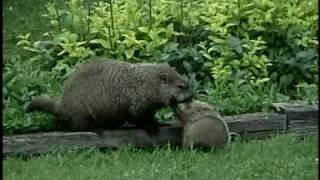 Groundhogs 2005-2008 An uncommon look at a common animal