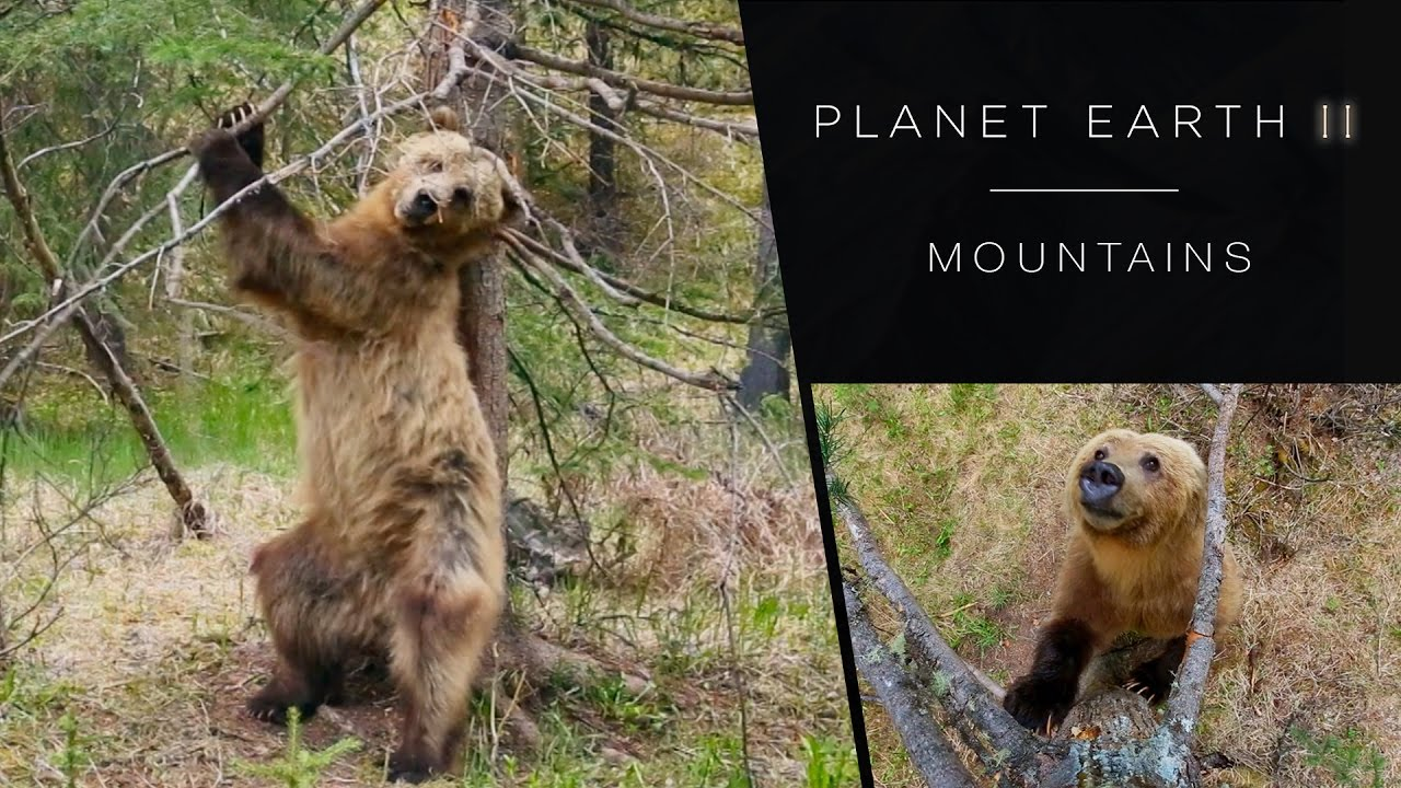Pole dancing bears - Planet Earth II: Mountains Preview - BBC One