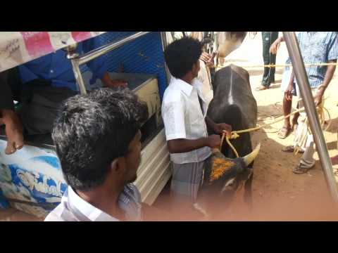 Trichy  Malaiyadipatti Jallikattu 2014 video