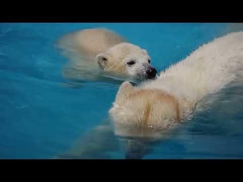 白くまララの赤ちゃん(5)札幌円山動物園2011/05/09