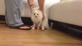 Coconut Wears Dog Shoes - Puppy Vlog