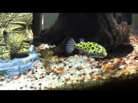 Freshwater puffer fish youtube for Puffer fish aquarium
