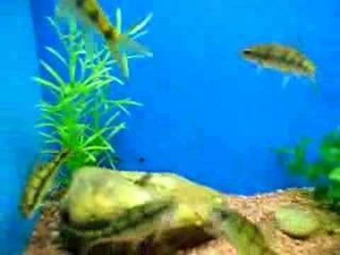 Header of Acrossocheilus