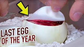 CUTTING LAST SNAKE EGGS OF THE YEAR!! BIZARRE RESULTS!! | BRIAN BARCZYK