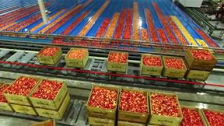 Fully automated apple pre-sizer and color sorter in operation