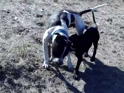 PitBull Puppies For Sale Excellent Temperament Video