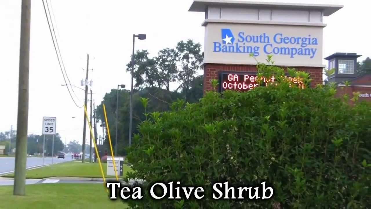 Tea Olive Fragrant Flowering Shrub - YouTube