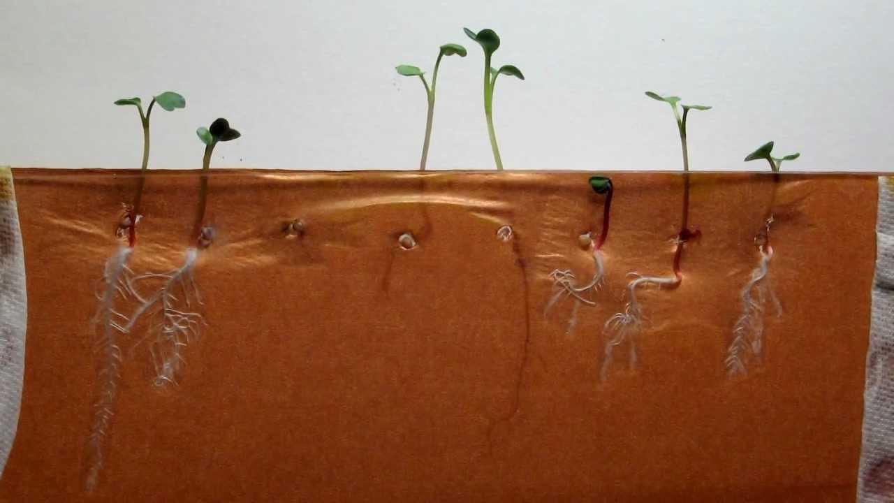 Radish Seeds Growth Time Lapse of Radish Seeds