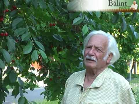 Védjük meg a moníliától a gyümölcsfákat