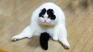 おかしい猫 - かわいい猫 - おもしろ猫動画 HD #211