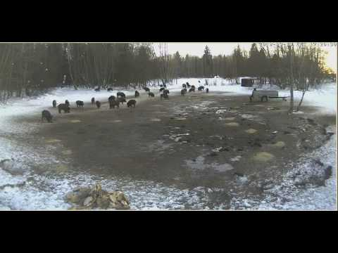 human and hungry wild boars Video