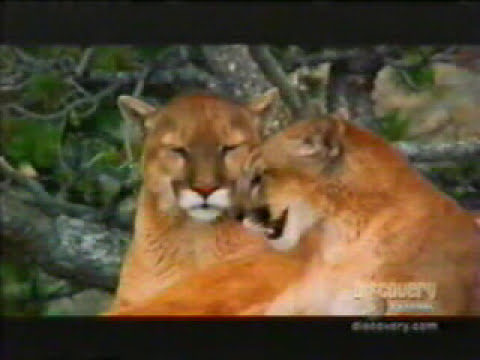 Cougars Mating