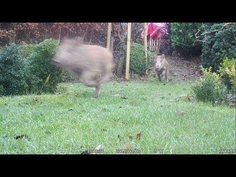 Wildschweine im Garten
