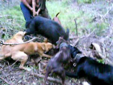 hog dogs bigisland style Video