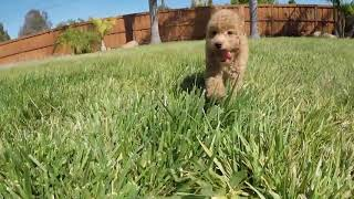 """""""Enzo"""" Male Mini GoldenDoodle Designer Puppy For Sale in San Diego!!!"""