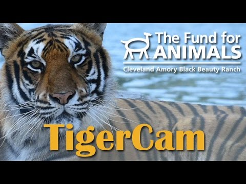 Live TigerCam at Black Beauty Ranch