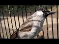 Kicauan Tajam Dan Keras Burung Kutilang Jantan Dewasa Suara Super Dahsyat Dan Bervariasi