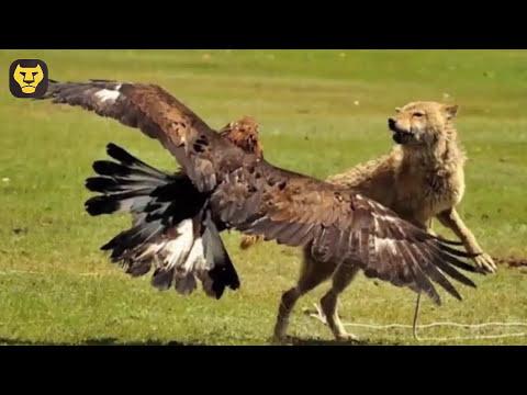 10 Datos curiosos de las Aguilas