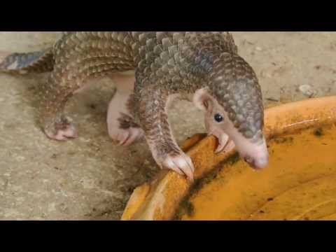 Baby Scaly Palawan anteater/pangolin eating ants and drinking water.