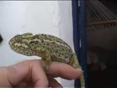 Chameleon changes colour