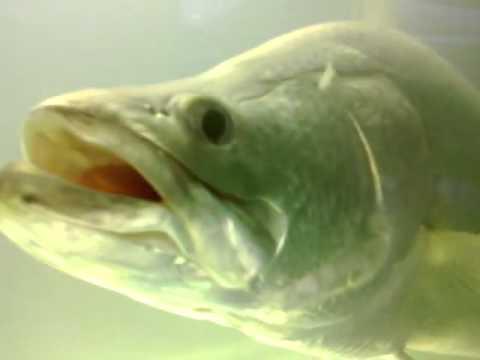 Cá Vược, Cá Chẽm ăn mồi - Barramundi Feeding