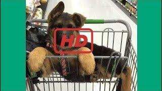 German Shepherd Puppies Funny Compilation #2 - Best of 2017