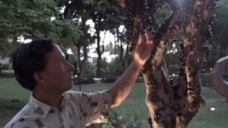 Jaboticaba an Exotic Tropical Fruit that grows on the tree trunk