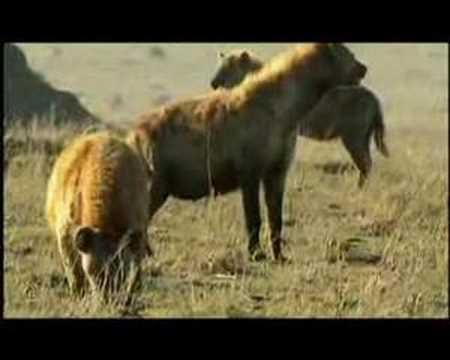 leões hienas