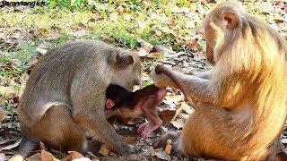 What is grandma Teresa doing on the newborn baby monkey? Samnnang kh