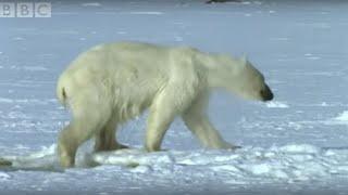 Polar Bear Hunts Beluga Whales   Blue Planet   BBC