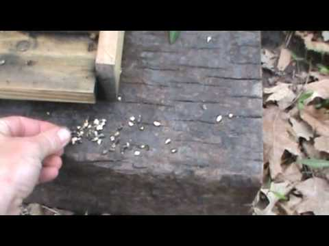 Chalkbrood Honeybee Disease