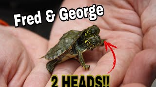 RARE TWO HEADED TURTLE!!  (Exotic Animal Tour)
