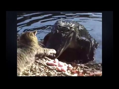Cat vs crocodile! Crazy cat - Die Hard)))