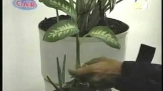 Las plantas Aráceas  - Su toxicidad - Un peligro potencial para los niños - Planta ornamental