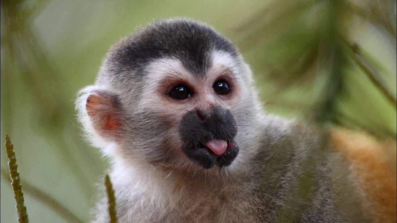 Squirrel monkey cute