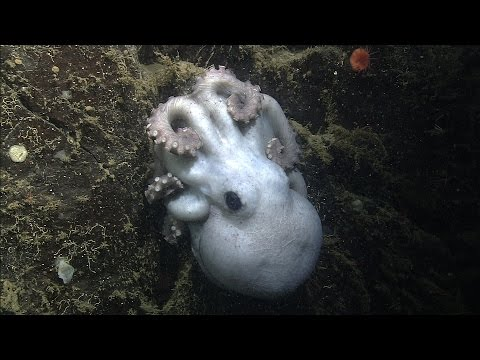 Deep-sea octopus invests in future: Longest brooding period ever recorded