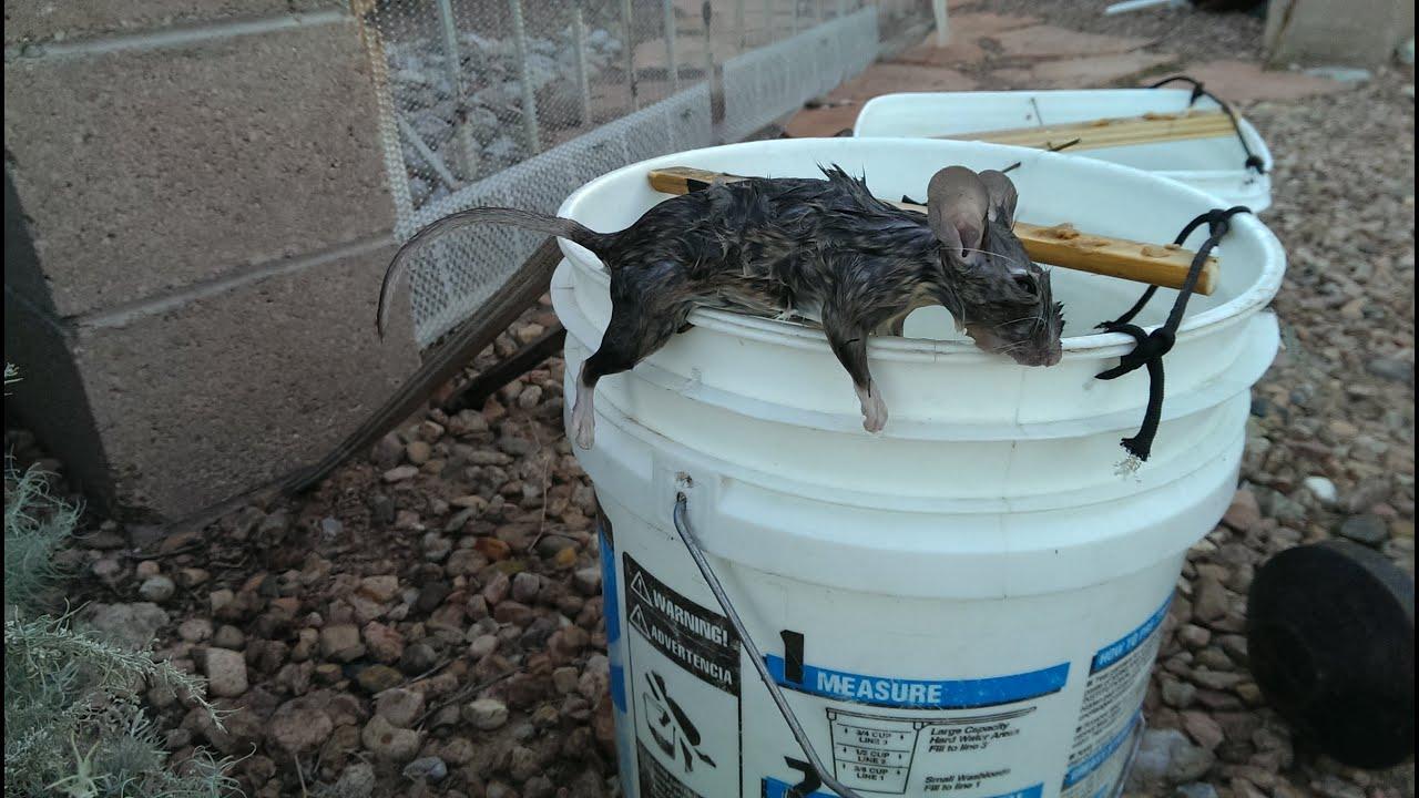 Как поймать крысу, сделать крысоловку своими руками из бутылки 29