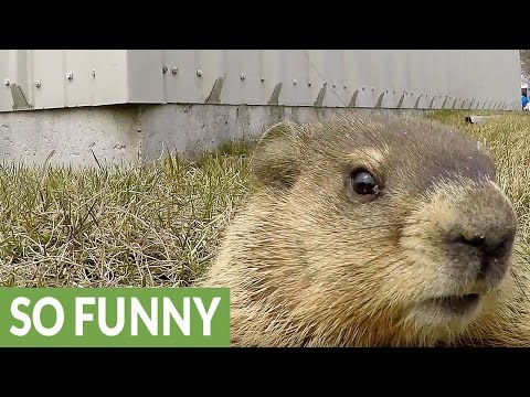 Curious gopher closely examines GoPro