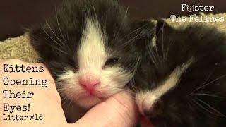 Newborn Kittens Opening Eyes 🙀Crawling Foster Litter #16