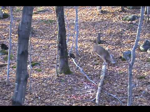 2009 Quebec crossbow deer hunting season Video