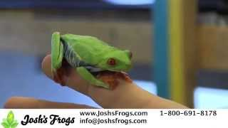 How to Take Care of Red Eye Tree Frogs Froglets